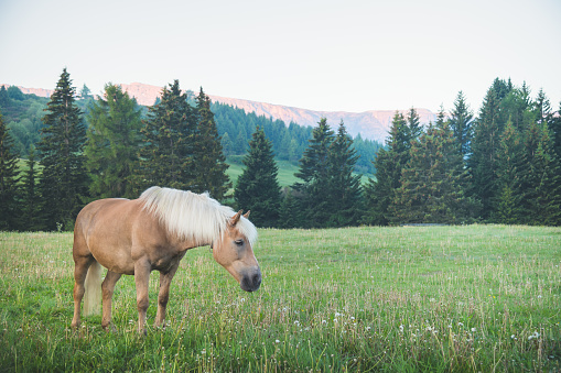 Horses grazing freely in a green meadow against the backdrop of dramatic dolomite peaks, 1248667663