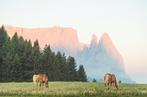 Horses grazing freely in a green meadow against the backdrop of dramatic dolomite peaks, 1248667672