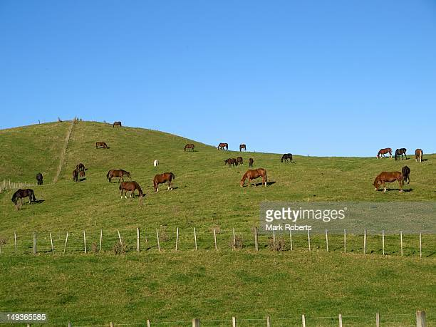 Horses grazing hill country pasture
