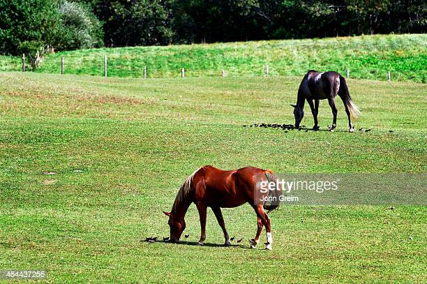 S VINEYARD TISBURY MASSACHUSETTS UNITED STATES Horses grazing in a field