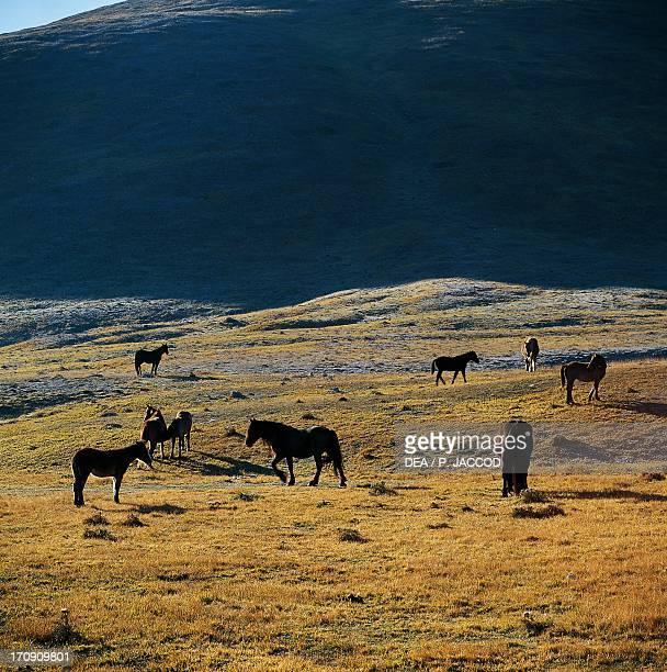 Horses grazing in Campo Imperatore, Gran Sasso, Gran Sasso and Monti della Laga National Park, Abruzzo, Italy.