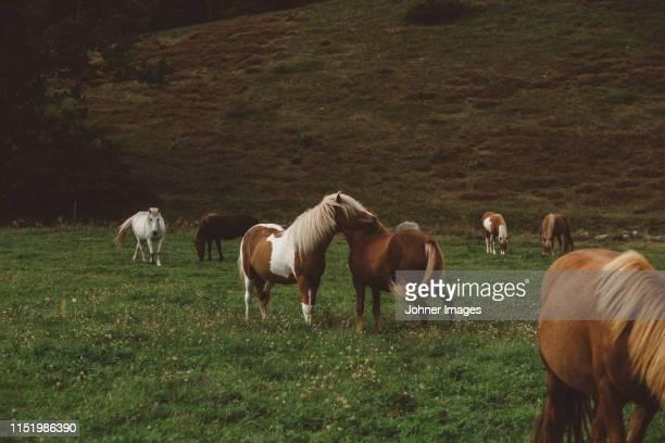 horses grazing in meadow - viehweide stock-fotos und bilder