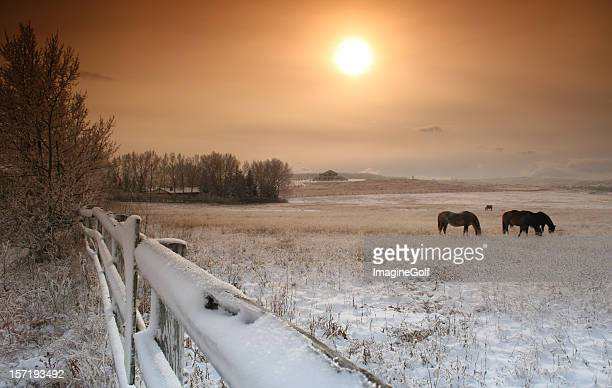 Horses Grazing in Pasture in Winter