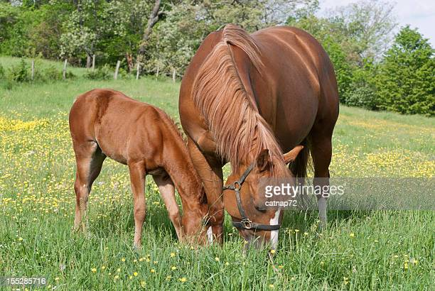 Horses Grazing in Spring Field, Sorrel Mare and Foal