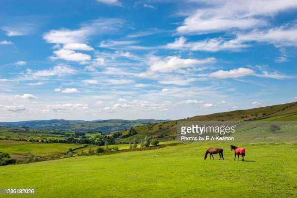 horses grazing in the hills of the english countryside - horse stock pictures, royalty-free photos & images