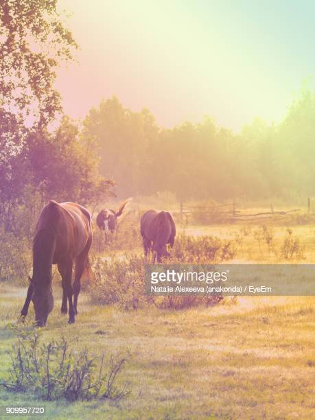 Horses Grazing On Field During Sunset