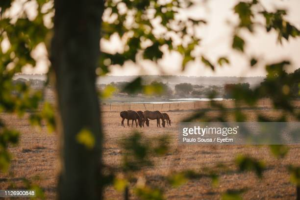 horses grazing on field seen through branches during sunset - grazing stock pictures, royalty-free photos & images