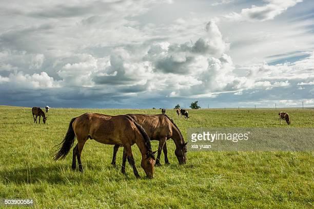 Horses Grazing On Hulunbuir Grasslands,Hulun Buir City,Inner Mongolia,China