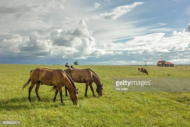 horses grazing on hulunbuir grasslands,hulun buir city,inner mongolia,china - china oost azië stockfoto's en -beelden