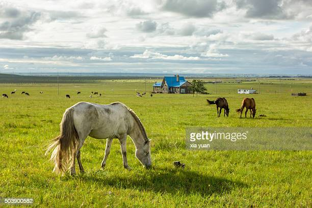 Horses Grazing On Hulunbuir Grasslands,Hulun Buir City,Inner Mongolia,China