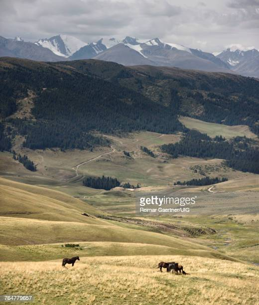 Horses grazing on remote Assy Turgen plateau with snow capped Tien Shan mountains Kazakhstan
