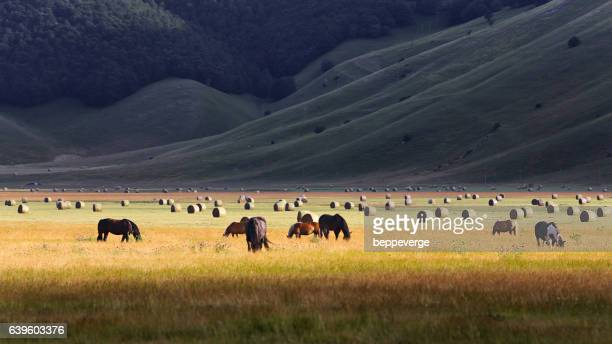 horses grazing on sunny meadow