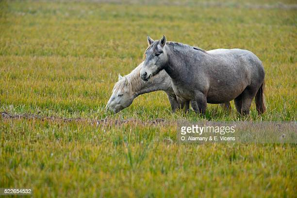 horses grazing - alamany fotografías e imágenes de stock