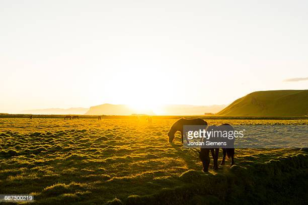 horses in a field at sunset