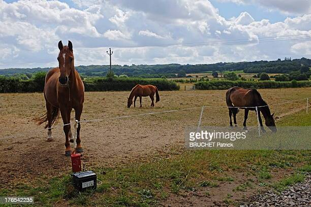 Horses in a field in Bucklebury on July 28 2013 in BuckleburyEngland Bucklebury is the home of the Middleton family and where Catherine Duchess of...