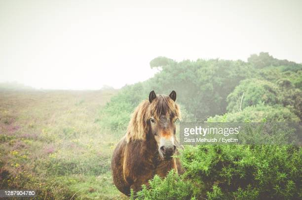 horses in a field - exmoor stock pictures, royalty-free photos & images