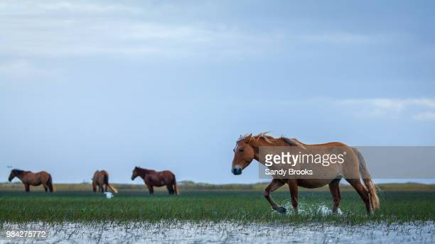 horses in a flooded field in north carolina, usa. - outer banks stock pictures, royalty-free photos & images