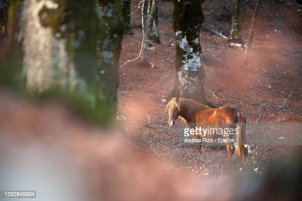 horses in a forest - andrea rizzi stock pictures, royalty-free photos & images