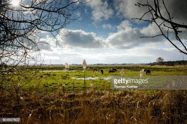 Horses in a pasture near Glowe on the island of Ruegen on February 05 2018 in Glowe Germany