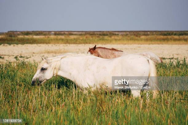 horses in camargue - marek stefunko stock pictures, royalty-free photos & images