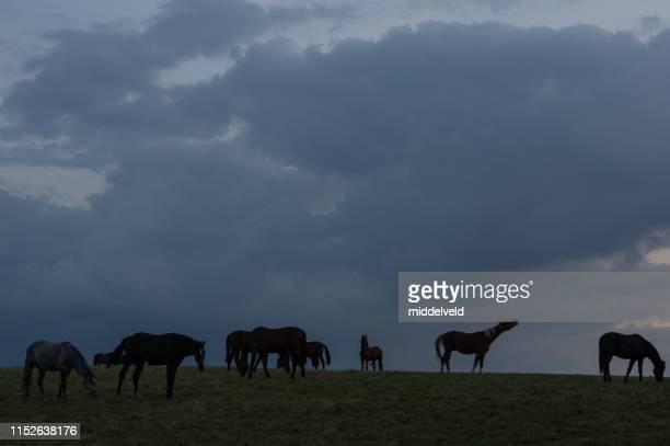 chevaux en soirée - accouplement cheval photos et images de collection