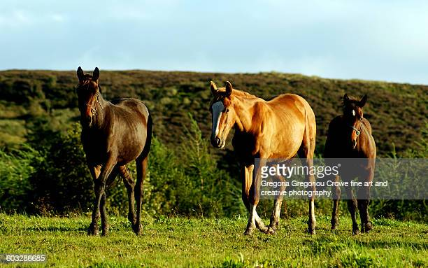 horses in field - gregoria gregoriou crowe fine art and creative photography stock photos and pictures