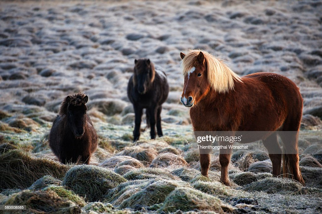 Horses in Iceland : Stock Photo