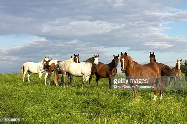 Horses in Lush Summer Pasture