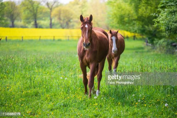horses in meadow - grazen stockfoto's en -beelden