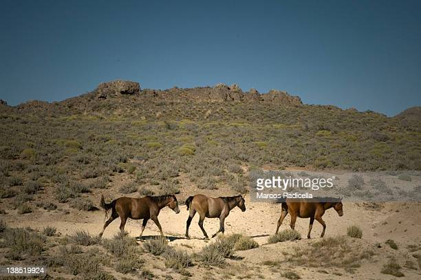 horses in patagonian steppe - radicella photos et images de collection
