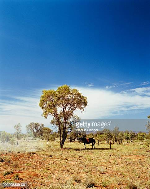 Horses in scrub land