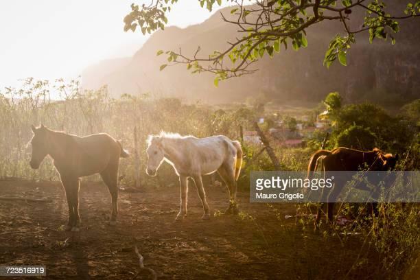 horses in sunlit paddock, vinales, cuba - valle de vinales stock-fotos und bilder