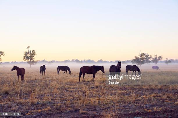 horses in the fog at sunrise - grazing stock pictures, royalty-free photos & images