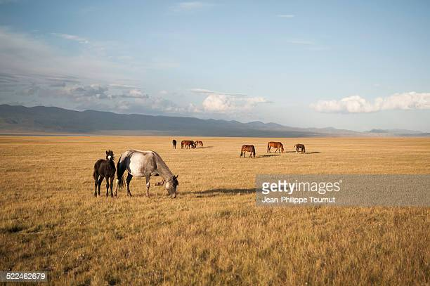 horses in the nature in central asia - kyrgyzstan stock pictures, royalty-free photos & images