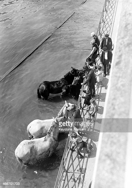 Horses in the Seine river during the heat wave in July 1929 in Paris France