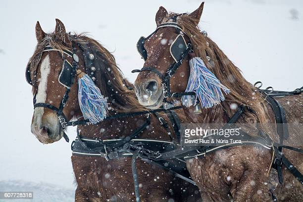horses in the snow - animal powered vehicle stock photos and pictures