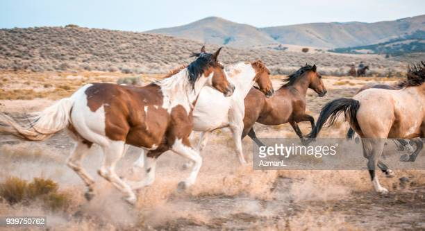 horses in the wild - stampeding stock pictures, royalty-free photos & images