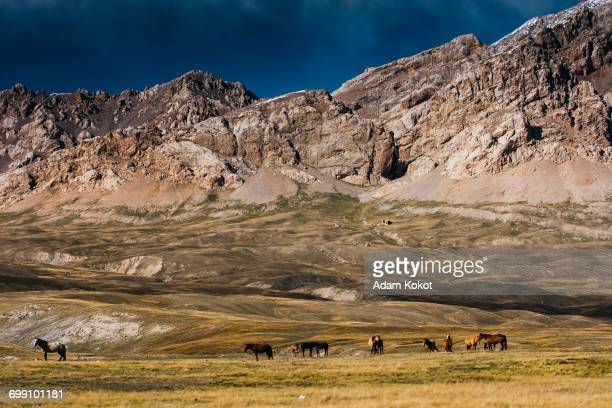 horses in tien shan mountains - tien shan mountains stock pictures, royalty-free photos & images