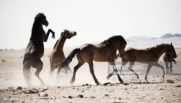Horses kicking in dusty field