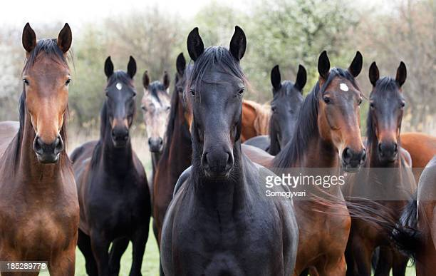 horses looking at camera - thoroughbred horse stock photos and pictures