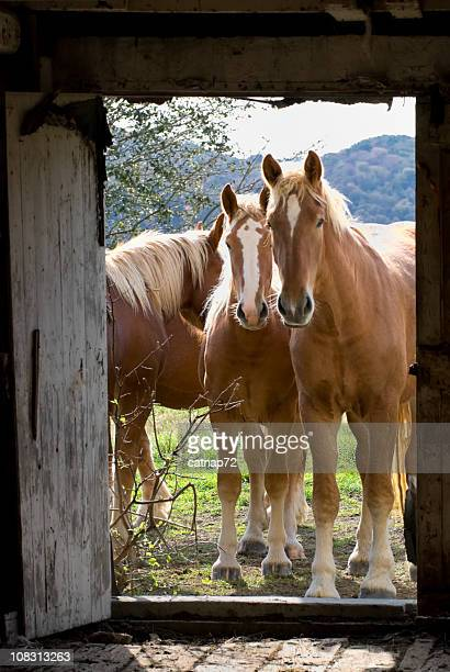horses looking through barn door, curious young belgian draft animals - shire horse stock pictures, royalty-free photos & images