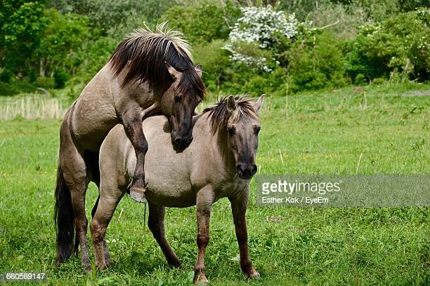 horses mating on grassy field - begattung kopulation paarung stock-fotos und bilder