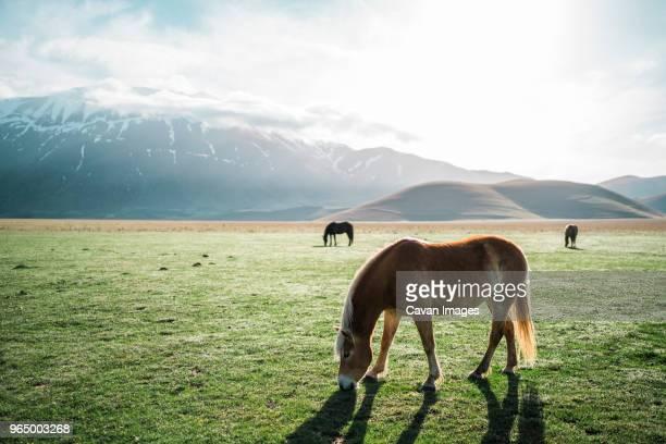 horses on field against snowcapped mountains - castelluccio di norcia foto e immagini stock