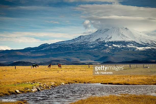 horses on field by snowcapped mountain against sky - mt shasta stock pictures, royalty-free photos & images