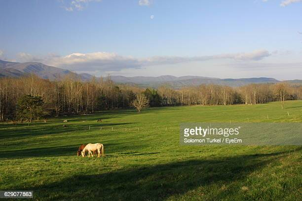horses on grassy field against sky - solomon turkel stock pictures, royalty-free photos & images