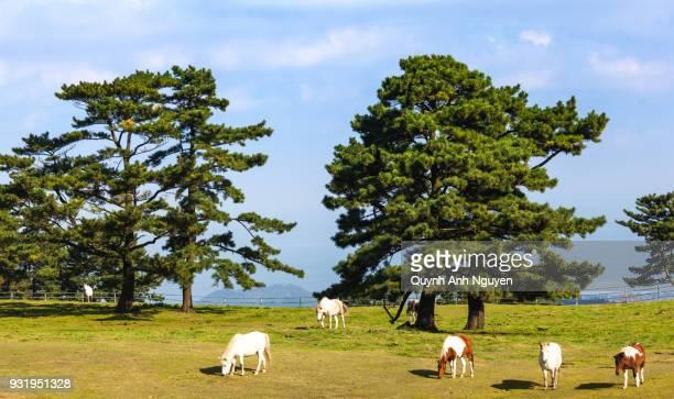 horses on jeju island, south korea - jeju stock-fotos und bilder
