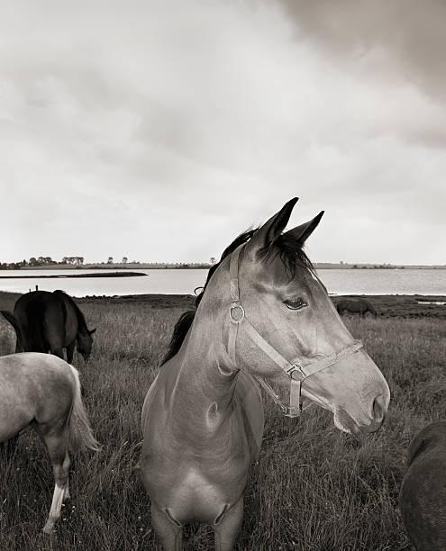 Horses on Poel Island