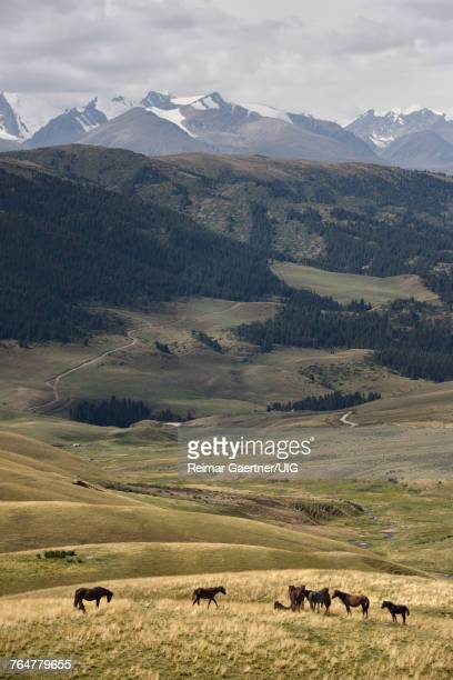 Horses on remote Assy Turgen plateau pasture land with snow capped Tien Shan mountains Kazakhstan