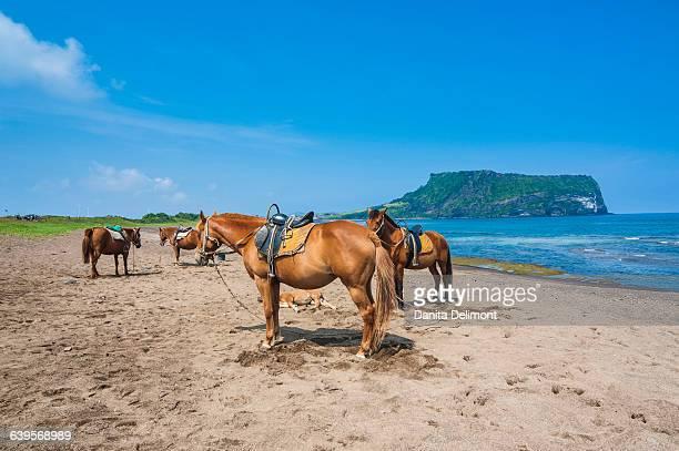 Horses (Equus ferus caballus) on sandy beach by Ilchulbong tuff cone, Sunrise Peak, Jejudo, South Korea