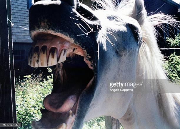 Horse's (Equus caballus) open mouth, close-up